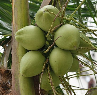 buah kelapa segar